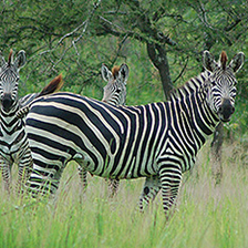 wary zebras look up from grazing
