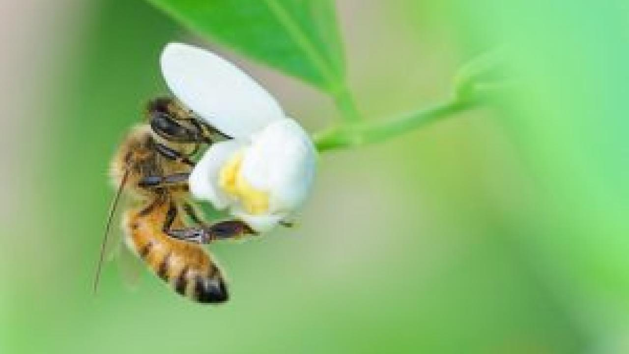 Photo of bee in flower.