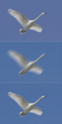 Image of a swan (top) blurred (middle) and mathematically unblurred without knowledge of the original image.