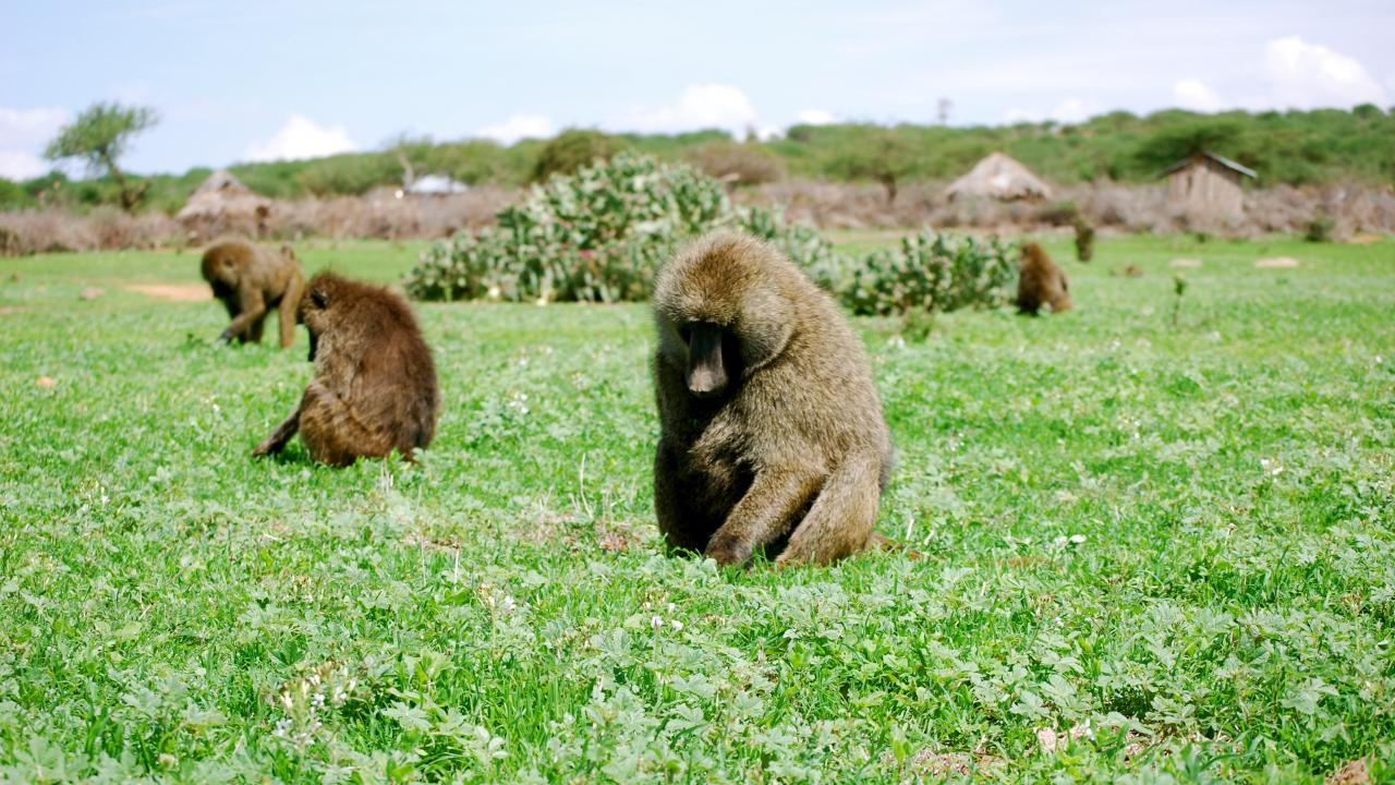 Photo: baboons foraging in grass