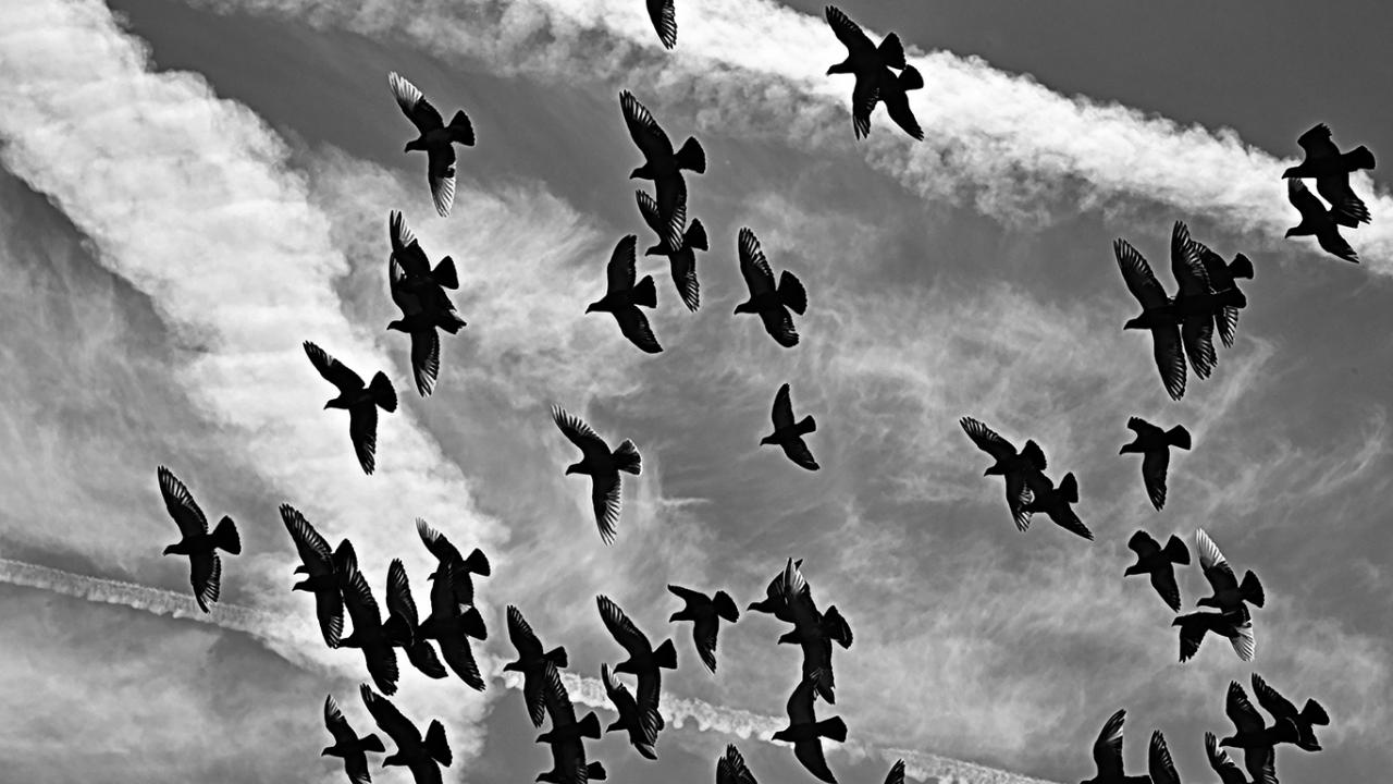 Photo: a flock of pigeons flying in cloudy sky