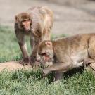 Two rhesus macaque monkeys on a log, one examining grass in a lawn.