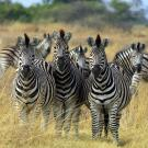 Photo: zebras in the wild